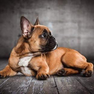 Französische Bulldogge als Welpe