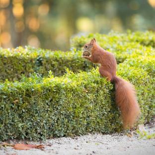 Eichhörnchen auf Hochzeit